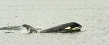 Baleia de assassino Fotos de Stock