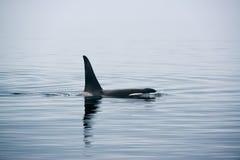 Baleia de assassino com as aletas dorsais enormes na ilha de Vancôver Imagem de Stock Royalty Free