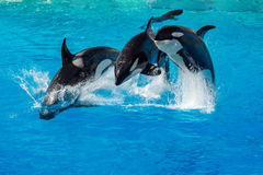 Baleia de assassino da orca ao saltar Imagens de Stock Royalty Free