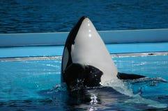 A baleia de assassino diz olá! fotografia de stock royalty free