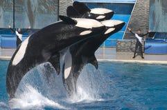 Baleia de assassino em Seaworld Fotografia de Stock