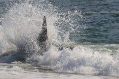 Baleia de assassino, orca, Foto de Stock