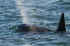 Baleia de assassino, orca, Fotos de Stock