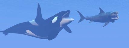 Baleia de assassino que ataca o tubarão pequeno do megalodon - 3D Fotos de Stock Royalty Free