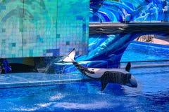 Baleia de assassino que salta na água azul em uma mostra do oceano em Seaworld 4 fotos de stock
