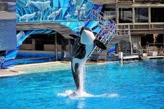 Baleia de assassino de salto em San Diego imagem de stock royalty free