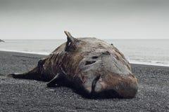 Baleia de Bottlenose (ampullatus do Hyperoodon) Foto de Stock