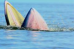 Baleia de Bryde Imagens de Stock
