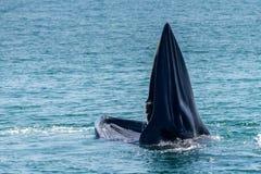 Baleia de Bryde Foto de Stock
