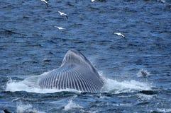Baleia de Brydes que alimenta 2 fotografia de stock royalty free