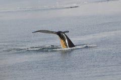Baleia de corcunda Fotografia de Stock Royalty Free