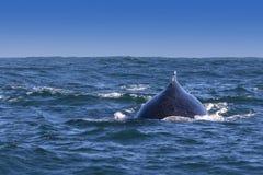 Baleia de corcunda Imagens de Stock Royalty Free