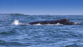 Baleia de corcunda Foto de Stock