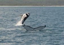 Baleia de corcunda fotos de stock