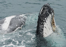 Baleia de corcunda Fotografia de Stock