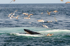 A baleia de corcunda abre sua boca Fotografia de Stock