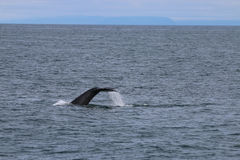 Baleia de corcunda em Islândia Imagem de Stock Royalty Free