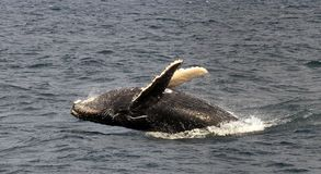 Baleia de corcunda preta Foto de Stock