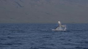 Baleia de corcunda que executa um lance da cauda vídeos de arquivo