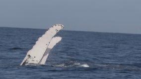 Baleia de corcunda que executa uma batida da aleta filme