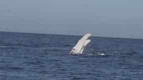 Baleia de corcunda que executa uma batida da aleta video estoque