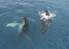 Baleia de corcunda que indica lá habilidades fotografia de stock
