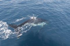 Baleia de corcunda que indica lá habilidades Imagem de Stock
