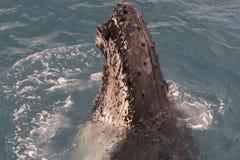 Baleia de corcunda que indica lá habilidades ao turista durante uma viagem de observação da baleia em Hervey Bay, Queensland aust fotos de stock