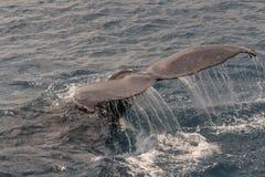 Baleia de corcunda que indica sua cauda durante um mergulho Foto de Stock