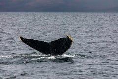 Baleia de corcunda que mostra sua cauda Imagens de Stock Royalty Free