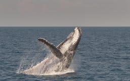 Baleia de corcunda que rompe enquanto indicando lá habilidades Foto de Stock Royalty Free