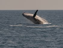 Baleia de corcunda que rompe enquanto indicando lá habilidades Fotografia de Stock