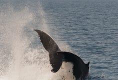 Baleia de corcunda que rompe enquanto indicando lá habilidades Imagem de Stock