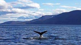 Baleia de corcunda que toma um mergulho Imagens de Stock