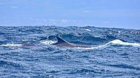 Baleia de corcunda Seu nome é ou devido à aleta dorsal, um formulário que assemelha-se a uma corcunda fotos de stock royalty free