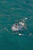 Baleia de esperma Fotos de Stock
