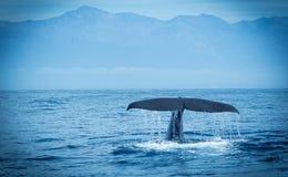 Baleia de esperma Kaikoura fotos de stock