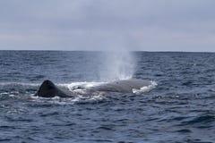 a baleia de esperma produz uma mola da fonte ensolarada Fotografia de Stock Royalty Free