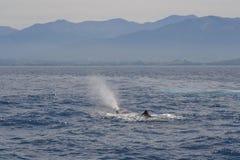 Baleia de esperma que vem acima para o ar, Kaikoura, Nova Zelândia Imagem de Stock