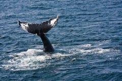 Baleia de Humpback Foto de Stock