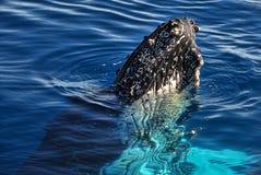 Baleia de Humpback   Foto de Stock Royalty Free