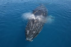 Baleia de Humpback Austrália Fotografia de Stock Royalty Free