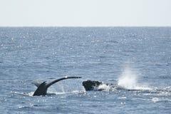 Baleia de Humpback da cauda e da cabeça Foto de Stock