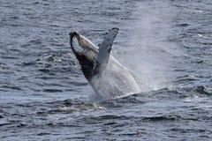 Baleia de humpback de Continente antárctico que mostra fora Imagens de Stock