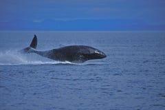 Baleia de Humpback juvenil Imagens de Stock