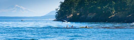 Baleia de salto da orca perto da canoísta Fotos de Stock Royalty Free