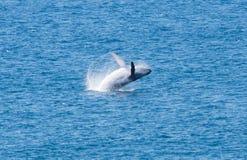 Baleia de salto, Fraser Island, Austrália, Queensland fotografia de stock royalty free