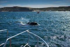 Baleia direita do sul na península de Valdes em Argentina imagem de stock