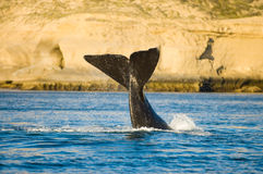 Baleia direita, Patagonia. imagens de stock royalty free