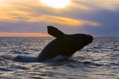 Baleia direita, Patagonia, Argentina foto de stock